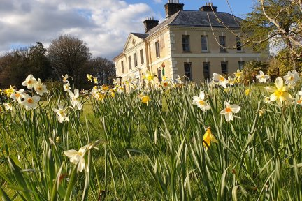 Daffodils at Kelly House garden